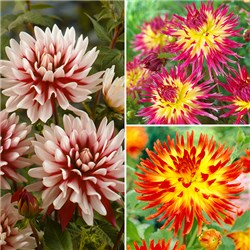 Two Tone Cactus Dahlias - 9 large tubers