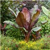 Architectural Banana Plant collection - 3 varieties