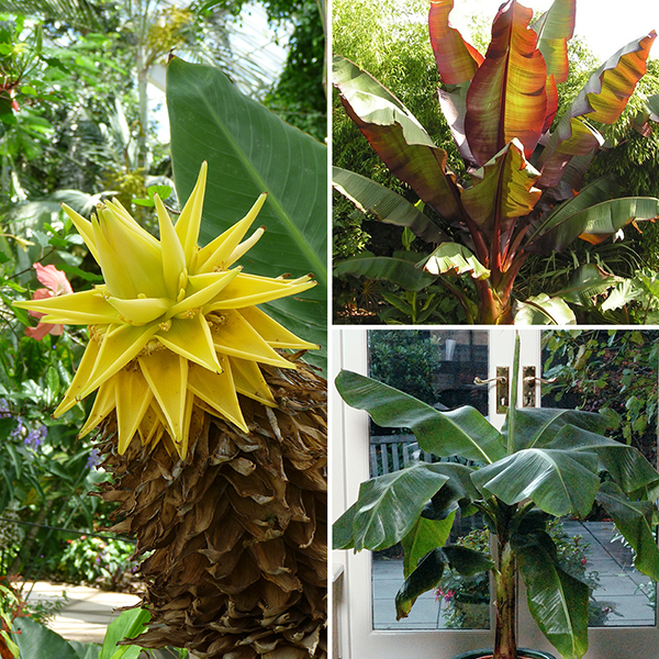Architectural Banana Plant Collection with 3 Varieties No Colour