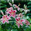 20 Fragrant Stargazer Lily bulbs
