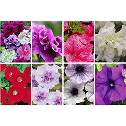 Fragrant Petunia Plant of the Month May - 12 Surfinia, 12 Tumbelina