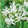 Hardy Nerines (Guernsey Lilies) 20 bulbs in 4 colours
