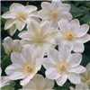 Repeat Flowering Clematis collection 3 x 9cm