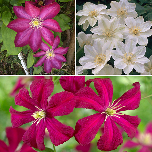 Repeat Flowering Clematis collection 3 x 9cm No Colour