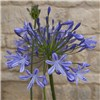 Agapanthus africanus Blue 5L pot with bud