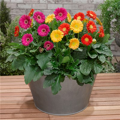Set of 6 Hardy Gerbera Garvinea in 7cm Pots