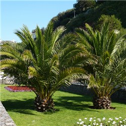 Pair 60cm Patio Phoenix Palms