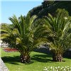 Pair 60cm Patio Phoenix Palms No Colour