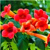 Patio Campsis Trumpet Vine Jazz Summer 3L pot 90cm