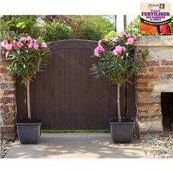 Pair of Pink Oleander Standards with a pair of 23cm Metallic Tulipa Planters plus 50g Fertiliser