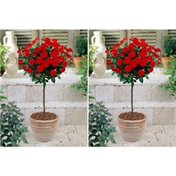 Pair of Patio Standard Roses 3L Red
