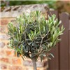 Pair 90-100cm Olive trees with planters