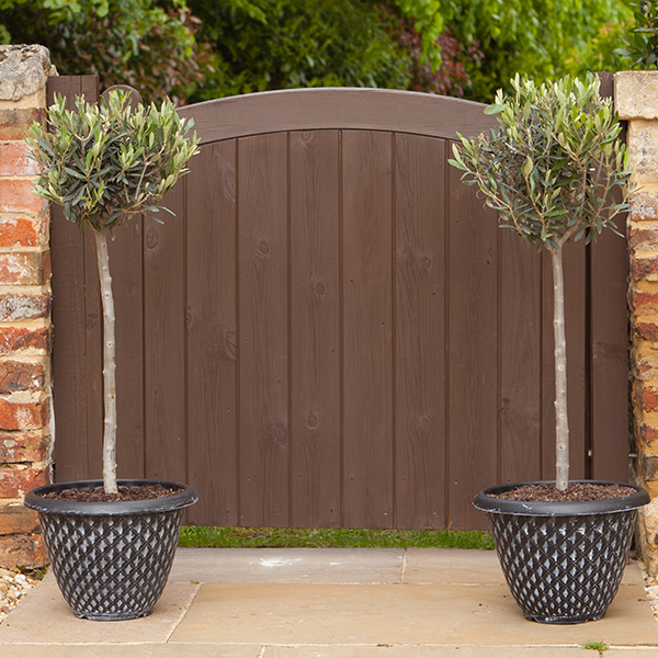 Pair 90-100cm Olive Trees with planters No Colour