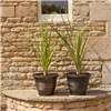 Pair of Cordyline Plants with a Pair of Gold Groove Planters
