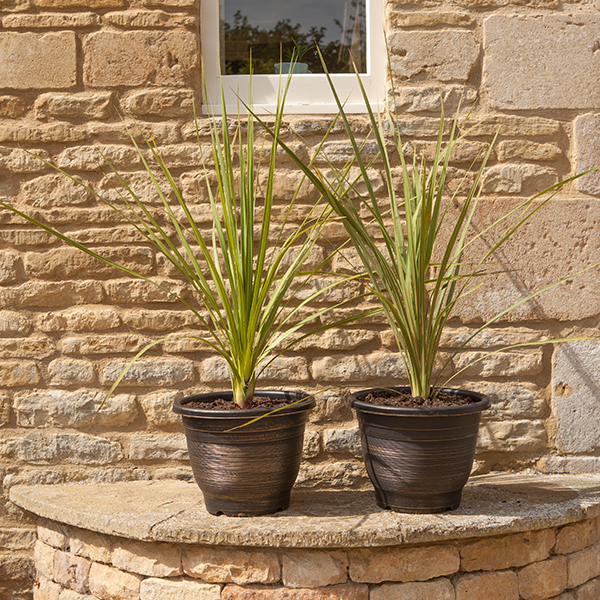 Pair of Cordyline Plants with a Pair of Gold Groove Planters No Colour