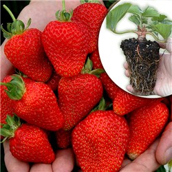 10 x Strawberry Everbearer Buddy trayplants