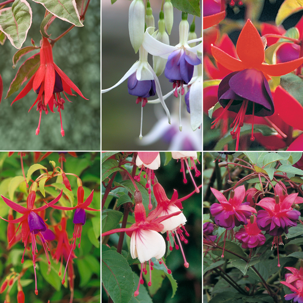 Hardy Fuchsia Collection 6 x 9cm varieties No Colour