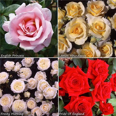 Premium Potted English Rose Collection 4 x 3L Pots