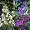Patio Buddleia (Butterfly Bush) Petite  x 3 plants in 3 colours