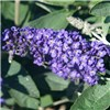 Patio Buddleia (Butterfly Bush) Petite x 3 plants in 3 colours No Colour