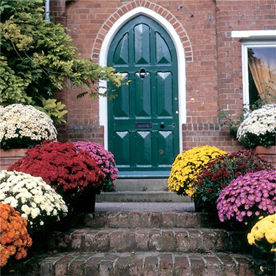 Hardy Garden Mums Collection (18 Jumbo Plugs)