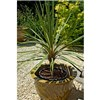 Pair 80-100cm Cordyline in 14cm pots No Colour