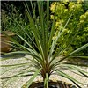 Pair of Cordyline in 14cm pots