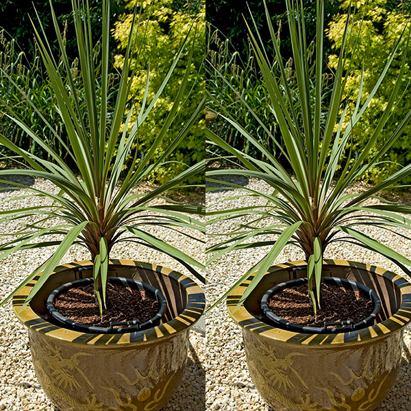 Pair of Cordyline in 14cm pots No Colour