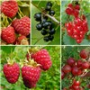 Complete Patio Fruit Collection - 6 plants in 9cm pots No Colour