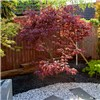 Acer atropurpureum Red Maple 3L 60cm tall