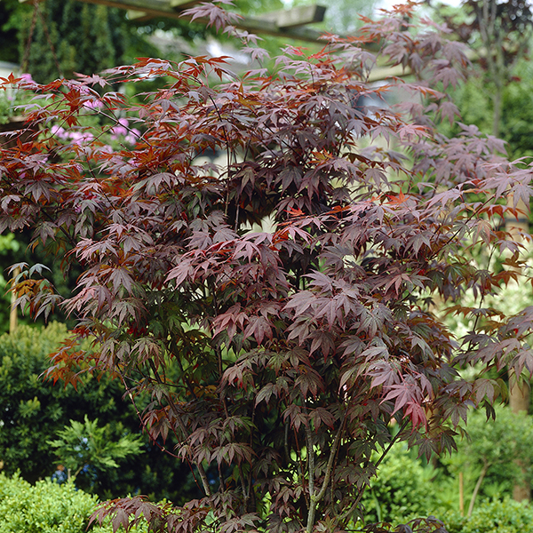 Acer Atropurpureum 'Red Maple' 3L 60cm Tall No Colour