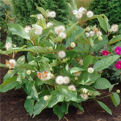 Cephalanthus 'Magical Moonlight' Buttonbush 3L Pot