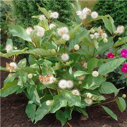 Cephalanthus Magical Moonlight 3L 50cm Buttonbrush