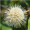 Cephalanthus Magical Moonlight 3L 50cm Buttonbrush No Colour