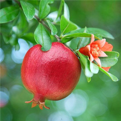 Pomegranate Wonderful tree 70cm 1L pot