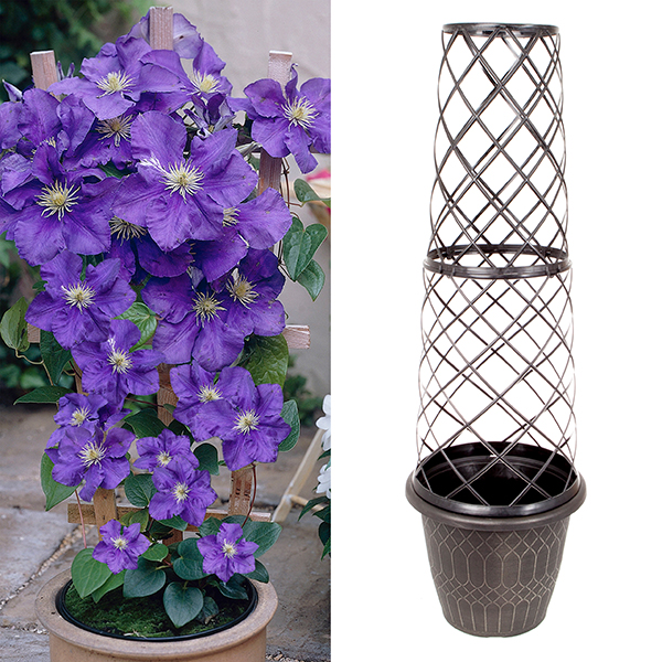 Tower Pot and Trellis with 3L Patio Clematis No Colour