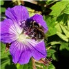 Pair of 2L Hardy Geranium Rozanne
