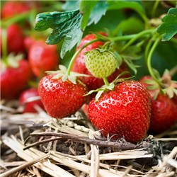 Pack of 6 Strawberry Cambridge Favourite Garden Ready Trayplants