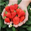 Pack of 6 Strawberry Cambridge Favourite Garden Ready Trayplants No Colour
