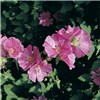 Lavatera Hardy Flowering Mallow Collection