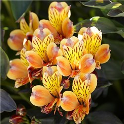 Pair of Hardy Alstoemeria Summer Breeze