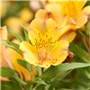 Pair of Hardy Alstoemeria Summer Breeze No Colour