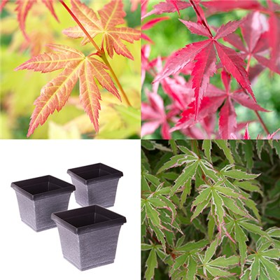 Acers and Metallic Square Planters (3 Pack)