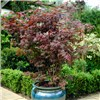 Set of 3 Acers and 3 x Metallic square planters
