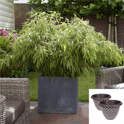 Pair of Fargesia Bamboos with Large Silver Pinecone Planters