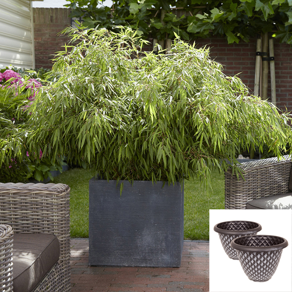 Fargesia Bamboos with Large Silver Pinecone Planters (Pair) No Colour