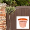 Olive Tree standard 1M with Antique terracotta look planter