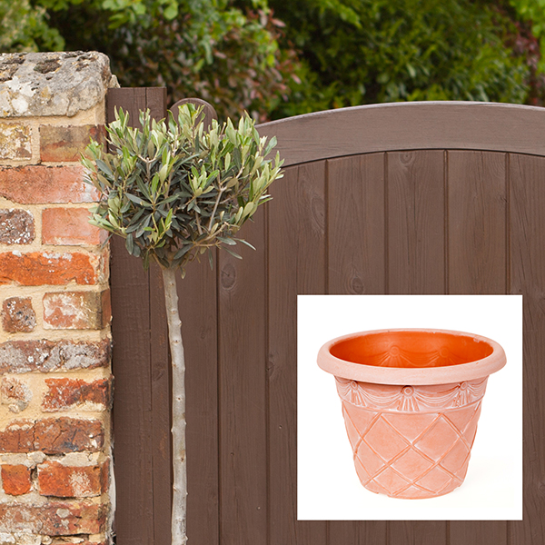 Olive Tree standard 1M with Antique Terracotta Look Planter No Colour