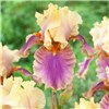 Hardy Bearded Iris collection - 6 Rhizomes