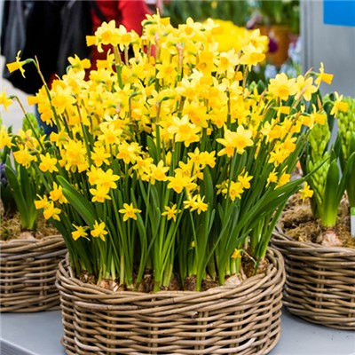 Narcissus Tete a Tete Multiflowered Bulbs (100 Pack)